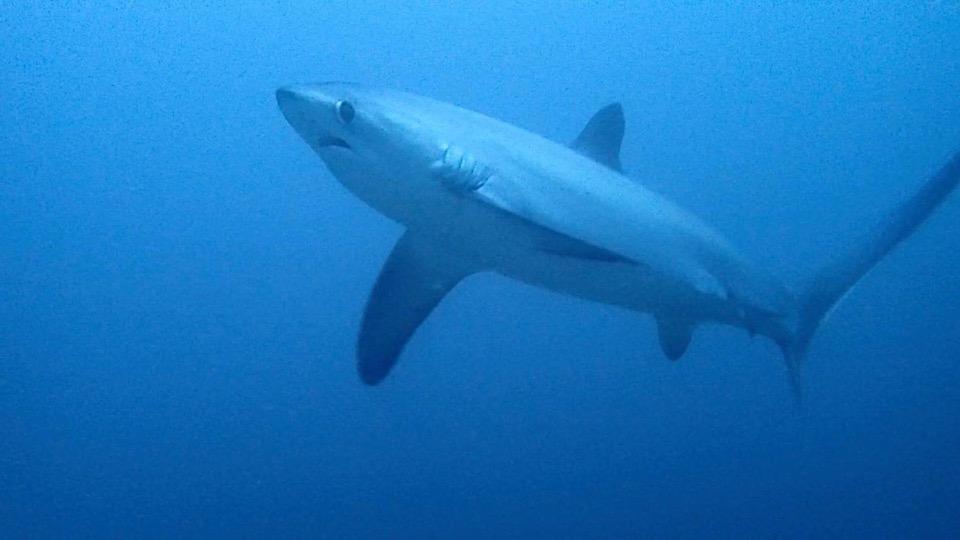 マラパスクアでサメとのダイビング!